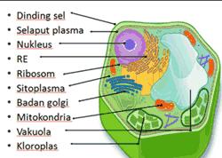 organel sel dan sitoplasma