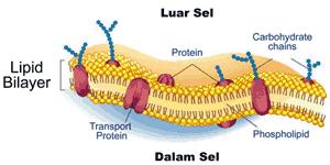 organel sel membran sel