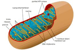 organel sel mitokondria