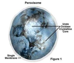 organel sel peroksisom