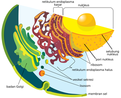 organel sel retikulum endoplasma
