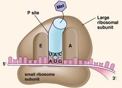 organel sel ribosom