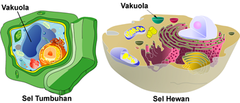 organel sel vakuola