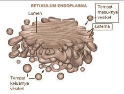organel sel tumbuhan badan golgi