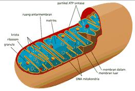 organel sel tumbuhan mitokondria