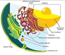 organel sel tumbuhan retikulum endoplasma