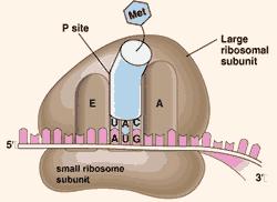 organel sel tumbuhan ribosom
