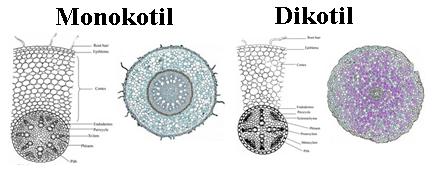 perbedaan akar monokotil dan dikotil