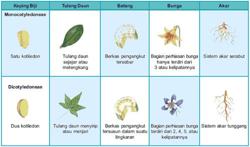 perbedaan tumbuhan dikotil dan monokotil