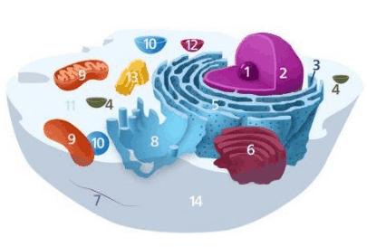 struktur organel sel hewan