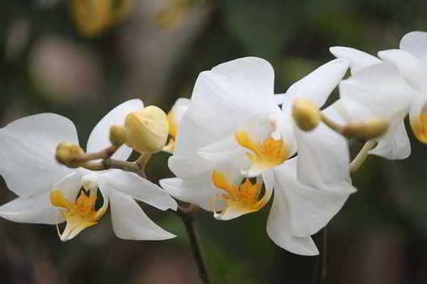 teks laporan hasil observasi bunga anggrek bulan