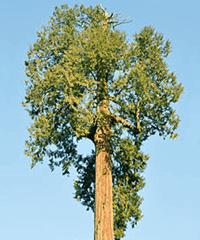 Cedar Merah