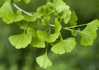 Kacang Pohon