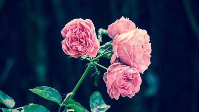 Contoh Teks Laporan Hasil Observasi Bunga Mawar Strukturnya