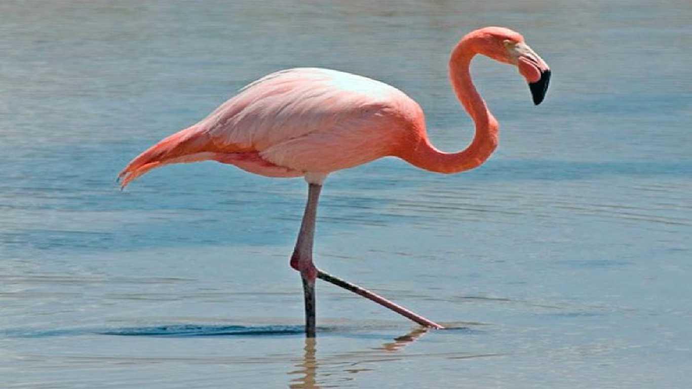 Burung Flaminggo