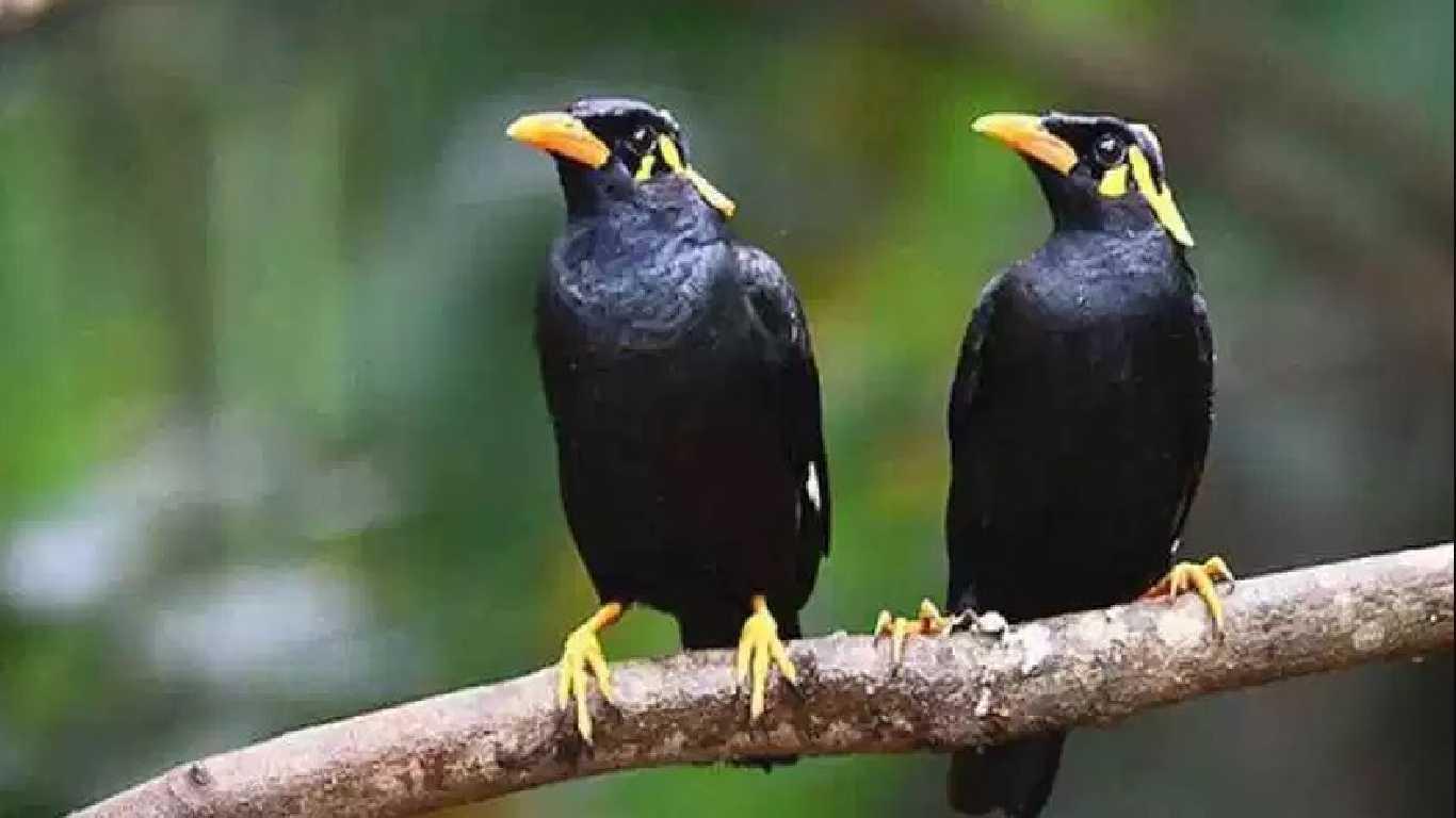 Contoh hewan omnivora Burung Jalak
