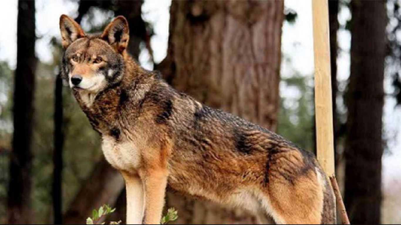 Contoh hewan omnivora serigala merah