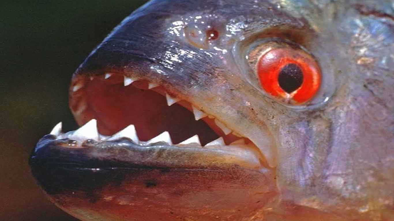 contoh hewan karnivora Ikan Piranha
