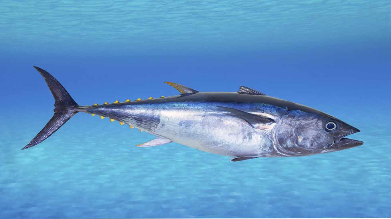 Contoh hewan karnivora Ikan Tuna