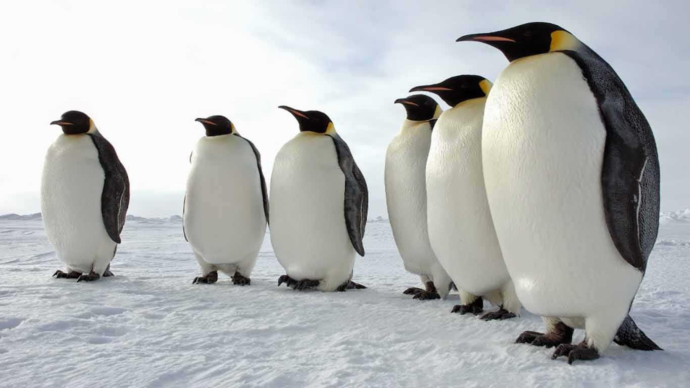 Contoh hewan karnivora Pinguin