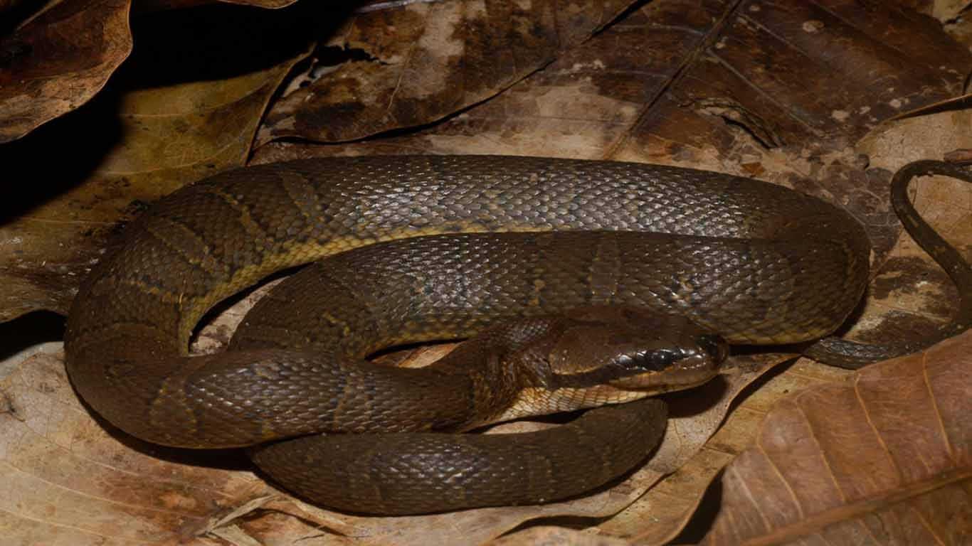Contoh hewan ovovivipar ular Kadut