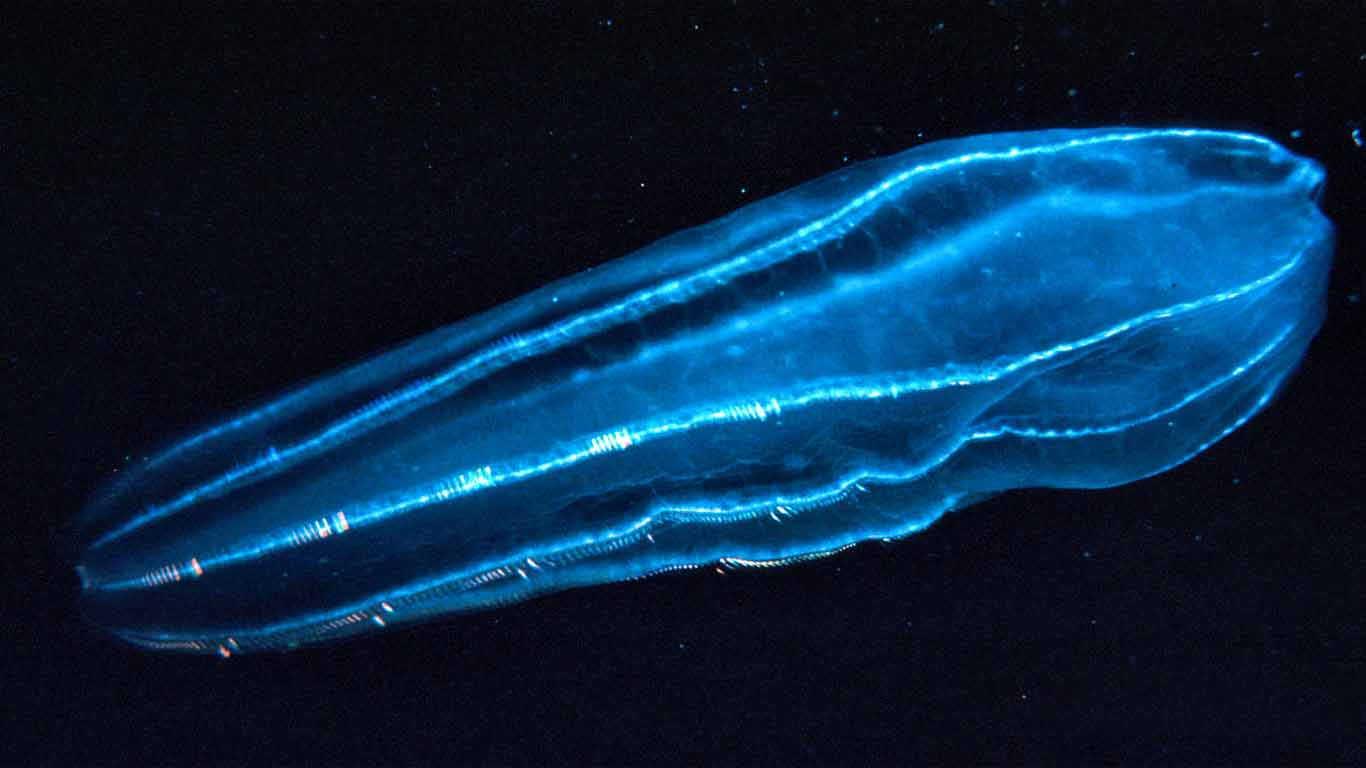 Filum Ctenophora