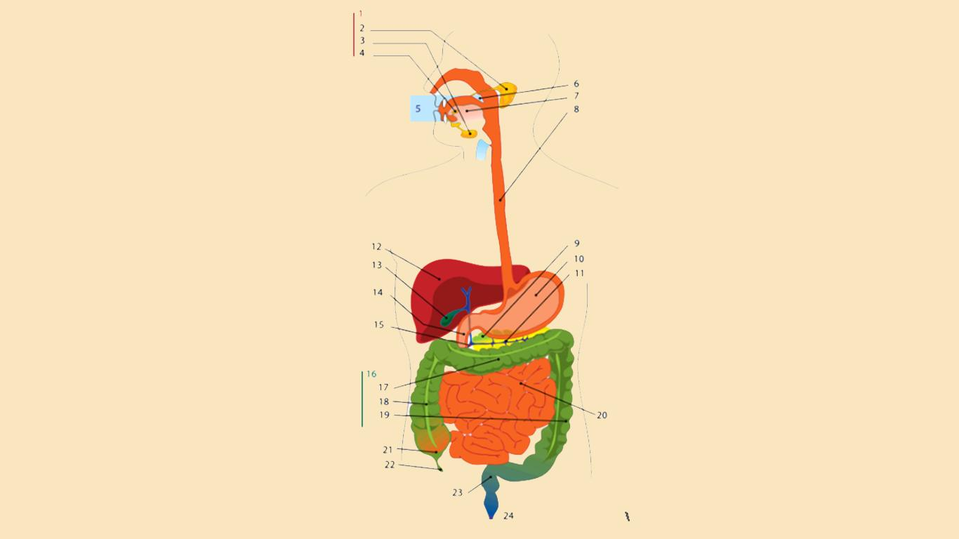 urutan sistem pencernaan
