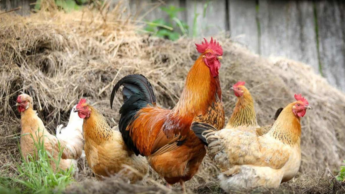 Spesies Ayam di Indonesia