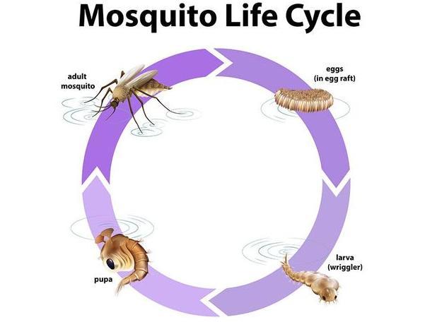 metamorfosis nyamuk dan belalang