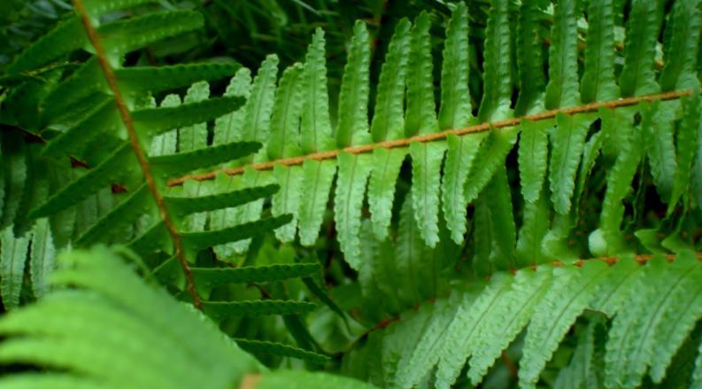 ciri - ciri tumbuhan paku
